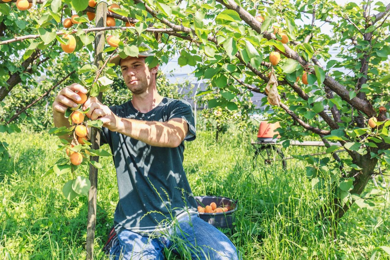 La vente d'abricots du producteur au consommateur bientôt impossible?