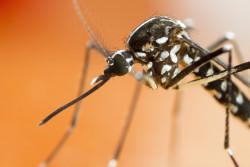 Le moustique tigre présent dans 51 départements