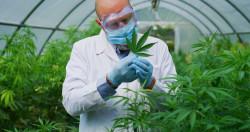 Cannabis : un usage médical expérimenté