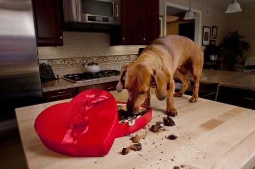 Intoxication : que faire si son chien a mangé du chocolat?
