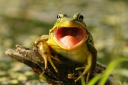 Les grenouilles coassent trop fort, le juge ordonne le comblement de la mare