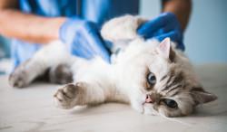 Jusqu'à 750 euros d'amende pour les propriétaires d'un chat sans puce ni tatouage