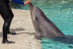 Le Parc Astérix décide de fermer son delphinarium