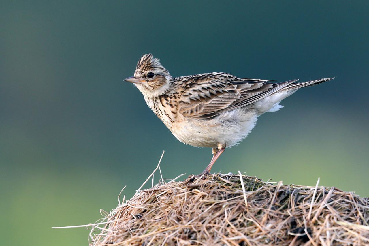 La « chasse traditionnelle » des oiseaux va être de nouveau autorisée