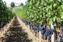Vigne et vin: la Gironde a réduit de moitié les pesticides classés dangereux en trois ans