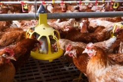 L'élevage des poules et lapins en cage reste autorisé pour le moment