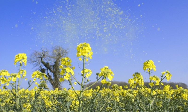 Concentration record de pollens de bouleaux à Paris — Allergies