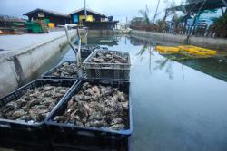 Les huitres du bassin d'Arcachon de nouveau consommables, en revanche pas les moules
