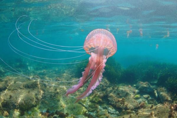 Piqûre de méduse : comment réagir ?