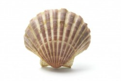 Noix de Saint-Jacques : les règles d'étiquetage concernant l'origine du produit